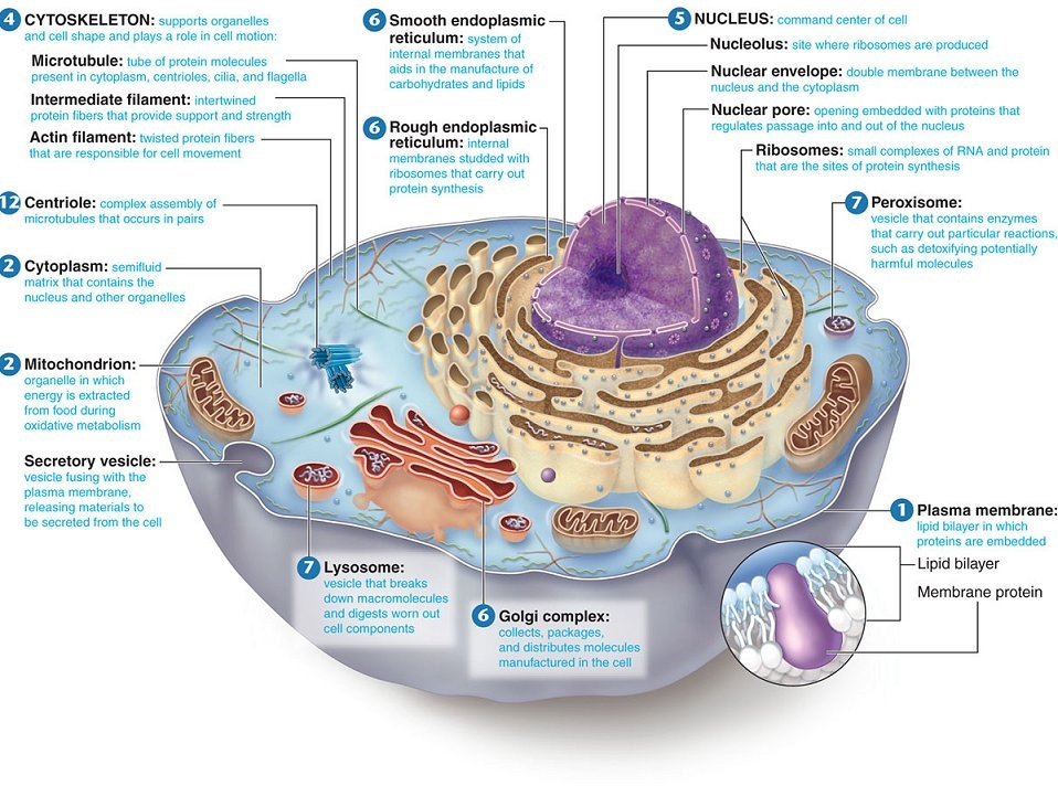 Biology – Cell Organelles and Their Functions Worksheet